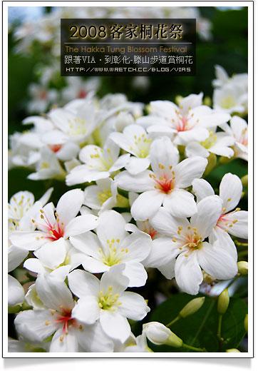 【彰化油桐花賞桐】八卦山藤山步道~客家桐花祭季賞花步道