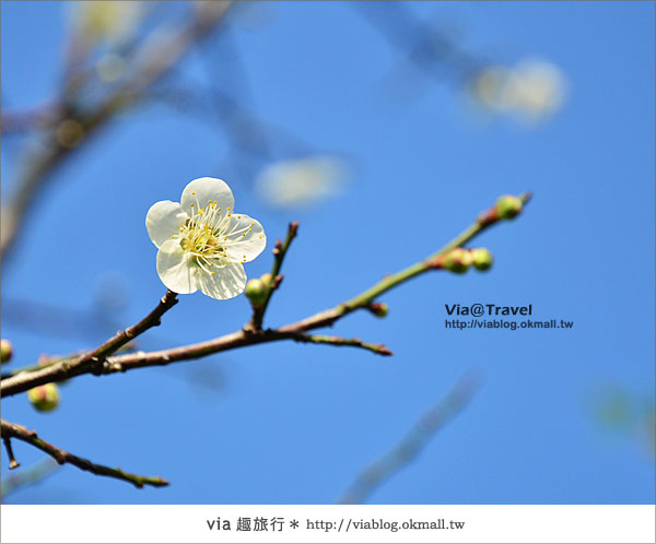 【台中賞梅】新社梅林親水岸~被梅花林包圍住的幸福!