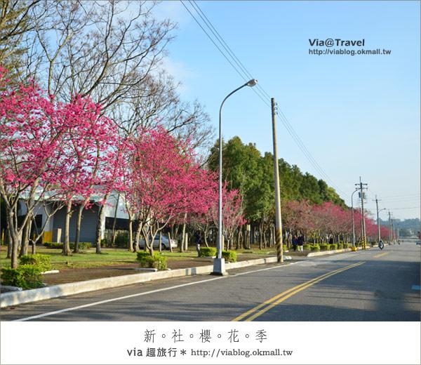 【新社櫻花季】新社區公所及129縣道~免費的美麗櫻花林!