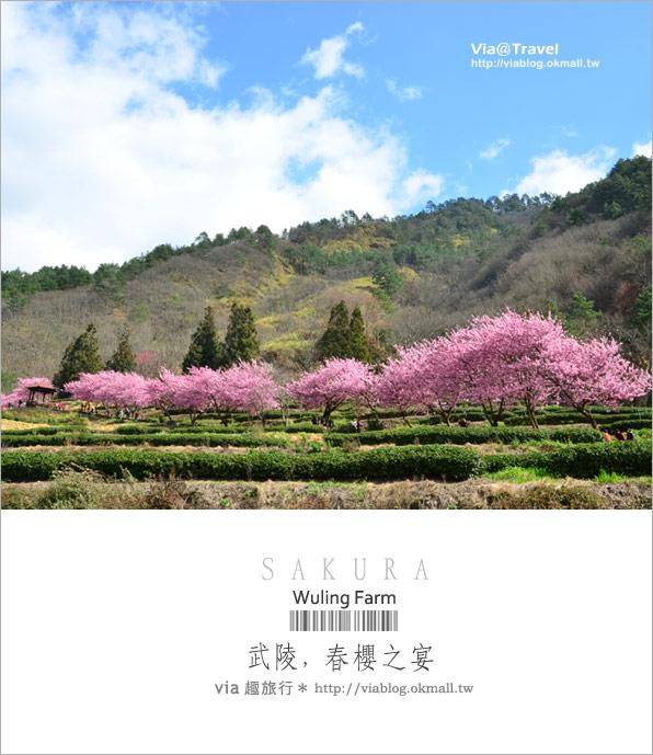 【武陵農場櫻花季】武陵賞櫻!粉紅佳人大盛開~全台第一的賞櫻聖地!