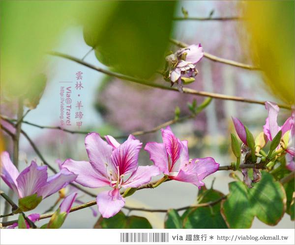 【土庫櫻花道】雲林櫻花!土庫鎮馬光國中前二公里長賞櫻大道!