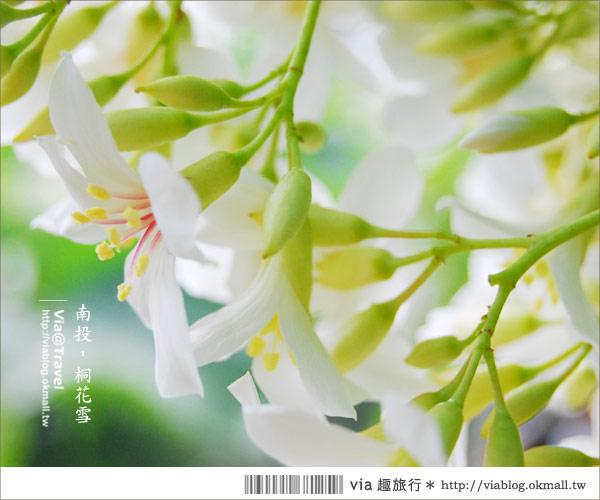 【牛耳藝術渡假村】南投桐花季~牛耳藝術渡假村夢幻桐花飄雪中