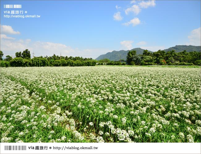 【桃園景點】桃園中新里韭菜花~鶯歌大溪自行車道田野間的九月雪!