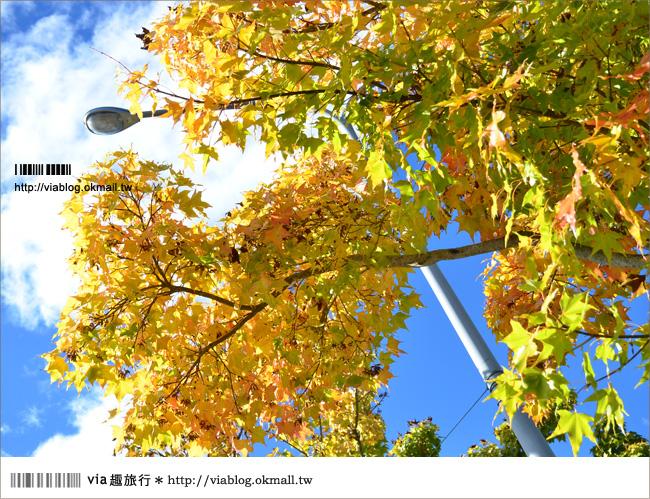 【清境遊記】清境楓葉初紅~via今年秋天的第一抹楓紅!