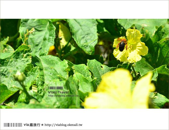 【頭社活盆地】南投頭社絲瓜花海~一大片黃花舞動的繽紛世界!