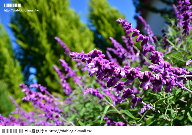 【福壽山薰衣草】福壽山農場~夢幻的紫色國度!薰衣草花海盛開中!