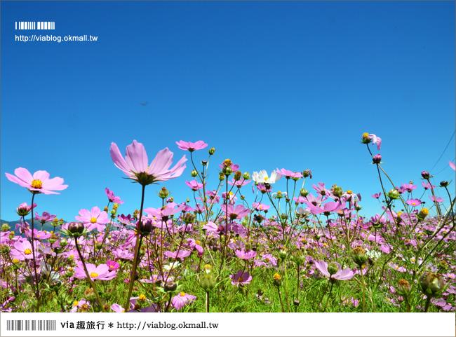 【福壽山農場】全台最美的花海~再度拜訪‧秘境波斯菊花海!