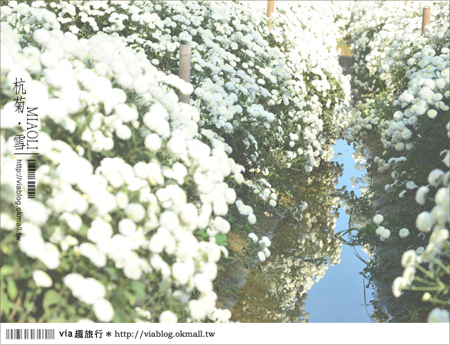 【苗栗杭菊】苗栗銅鑼杭菊芋頭節~一起到苗栗銅鑼賞雪吧!