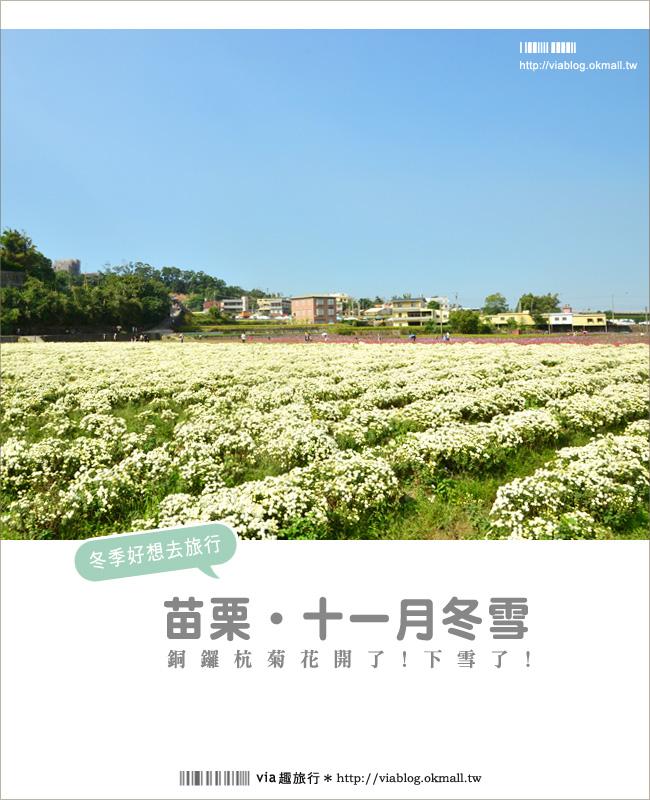 銅鑼杭菊》苗栗十一月遍地白雪美景~賞杭菊小秘境分享!