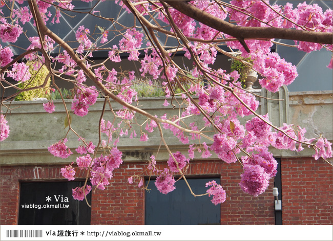 【台中景點】台中洋紅風鈴木‧就在宮原眼科旁的市區美景!