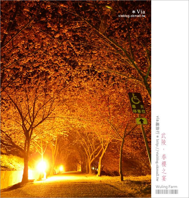 【武陵夜櫻】via賞櫻記(4)武陵櫻花二日遊行程~武陵夜間賞櫻浪漫極了!