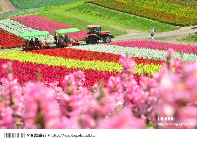 【北海道花季】美瑛|四季彩之丘、ぜるぶの丘・亜斗夢の丘、美馬牛花田(菅野農場)