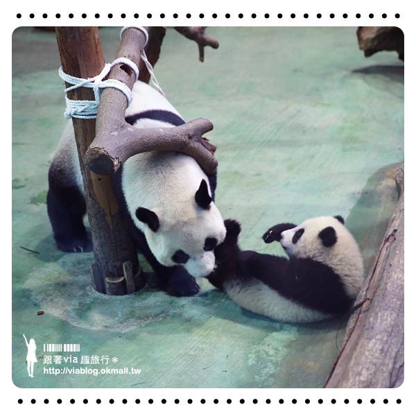 【台北動物園】熊貓圓仔影片~圓仔終於見客啦!來去動物園看爆可愛的圓仔
