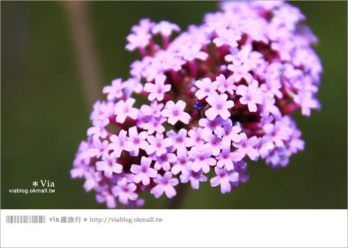 【桃園景點一日遊】親子旅遊景點~青林農場‧紫色馬鞭草花海無敵浪漫!9