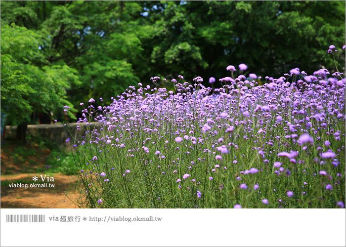 【桃園景點一日遊】親子旅遊景點~青林農場‧紫色馬鞭草花海無敵浪漫!18