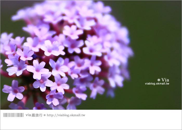 【桃園景點一日遊】親子旅遊景點~青林農場‧紫色馬鞭草花海無敵浪漫!10