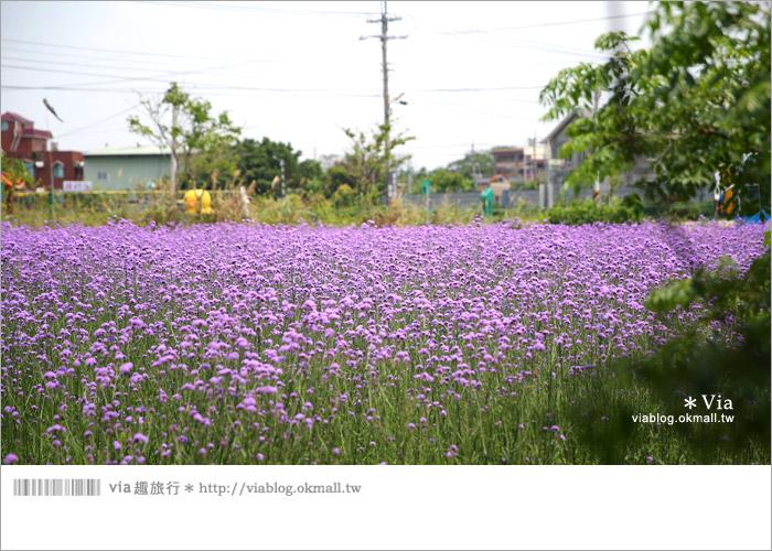 【桃園景點一日遊】親子旅遊景點~青林農場‧紫色馬鞭草花海無敵浪漫!6