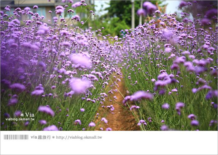 【桃園景點一日遊】親子旅遊景點~青林農場‧紫色馬鞭草花海無敵浪漫!15