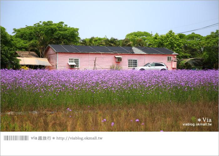 【桃園景點一日遊】親子旅遊景點~青林農場‧紫色馬鞭草花海無敵浪漫!12