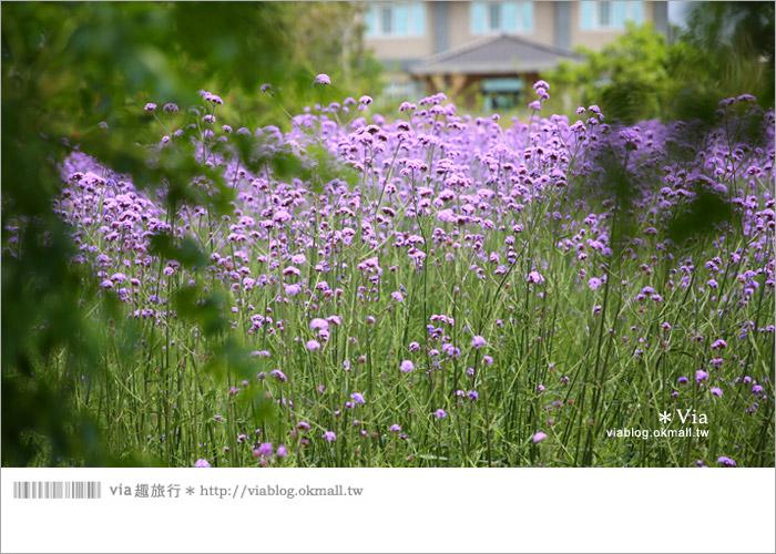 【桃園景點一日遊】親子旅遊景點~青林農場‧紫色馬鞭草花海無敵浪漫!7