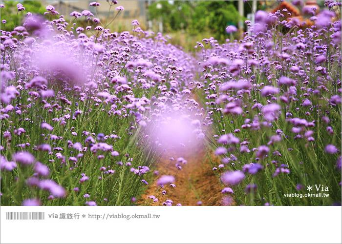 【桃園景點一日遊】親子旅遊景點~青林農場‧紫色馬鞭草花海無敵浪漫!16