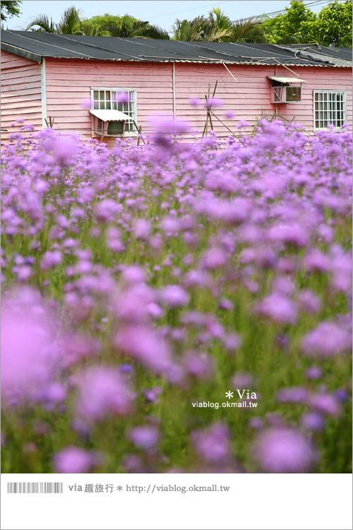 【桃園景點一日遊】親子旅遊景點~青林農場‧紫色馬鞭草花海無敵浪漫!14