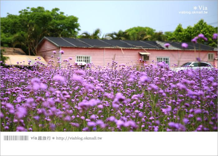 【桃園景點一日遊】親子旅遊景點~青林農場‧紫色馬鞭草花海無敵浪漫!13