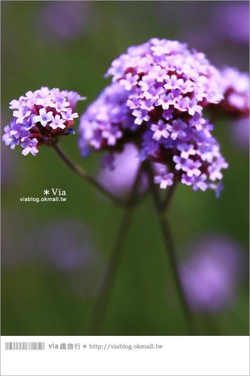 【桃園景點一日遊】親子旅遊景點~青林農場‧紫色馬鞭草花海無敵浪漫!8