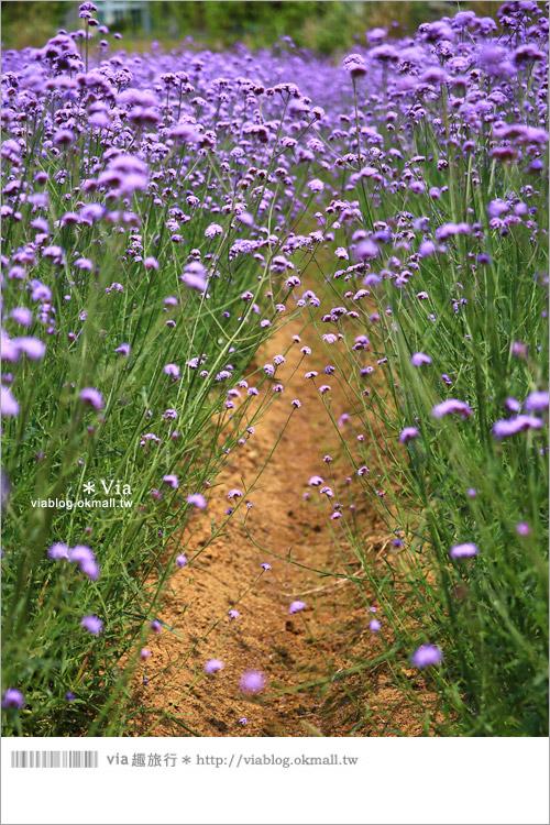【桃園景點一日遊】親子旅遊景點~青林農場‧紫色馬鞭草花海無敵浪漫!17