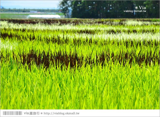 【北海道景點】旭川景點推薦~夏日限定!隱藏版景點:不思議的動物版彩繪藝術稻田