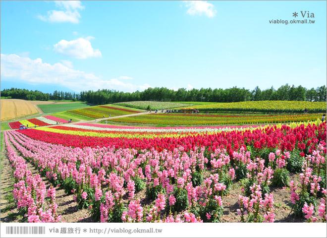 【北海道花海】美瑛必去景點~「四季彩之丘」超美!夏季限定的無敵夢幻彩虹花田
