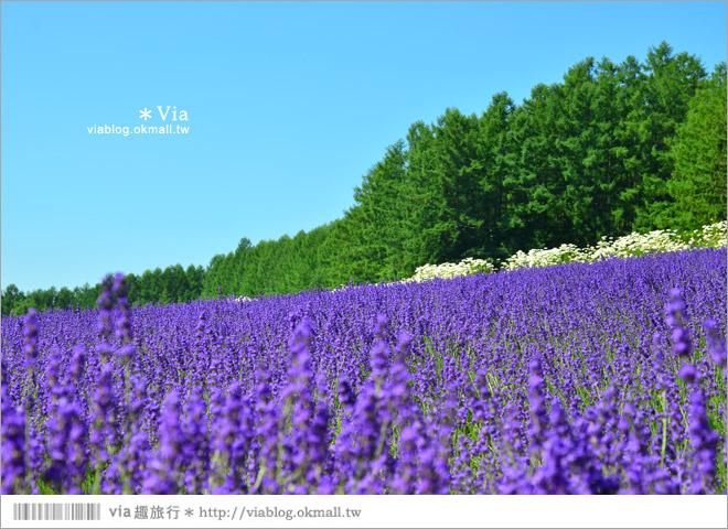 【富田農場】北海道推薦景點。富田農場花季~超美的彩虹花田+薰衣草田(上集)