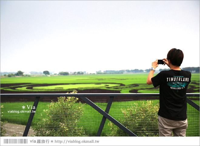 【雲林稻田彩繪】雲林莿桐彩繪稻田~巨型稻田藝術作品,下鄉賞遊趣!