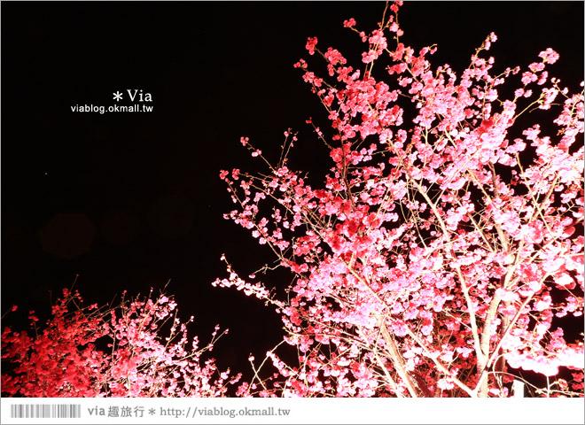 【泰安派出所夜櫻】泰安派出所櫻花2015~夜賞八重櫻、浪漫氣氛更顯濃郁!