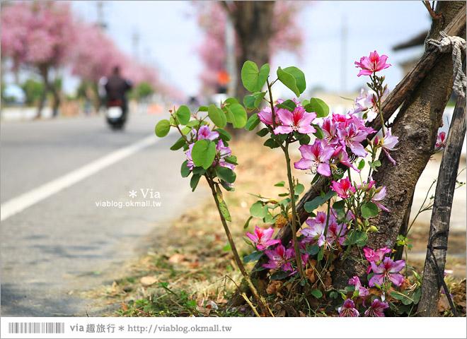 【雲林櫻花】土庫馬光國中櫻花大道~初春的最後一抹嫣紅!一起賞花去!