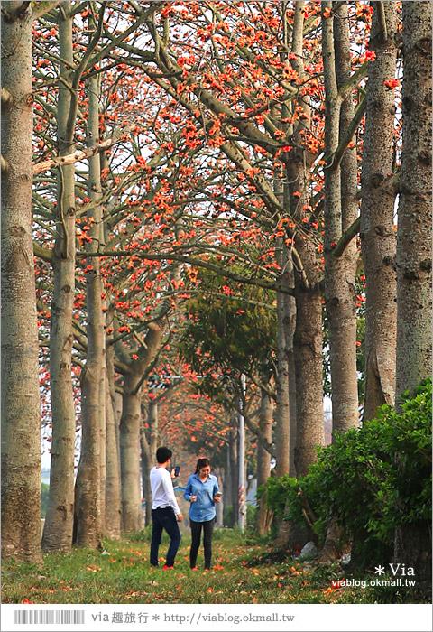 【雲林木棉花道】西螺木棉花道~盛綻的火紅,是初春最熱情的色彩!