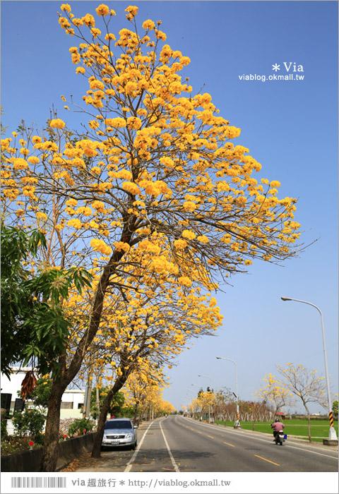 【芬園黃金風鈴木】彰化黃金風鈴木大道再一條!芬園的金黃之路~澄黃的令人陶醉