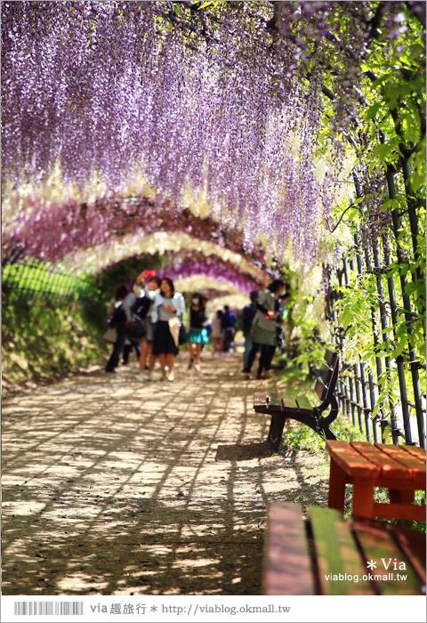 【日本紫藤花季】河內藤園(上)~絕美!九州紫藤隧道夢幻的不可思議!