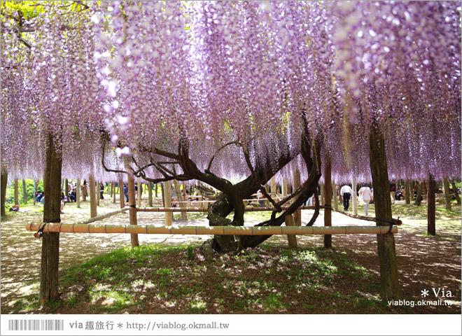 【九州紫藤花】河內藤園(下)~紫藤瀑布!壯麗的紫色瀑布就在眼前展開了!