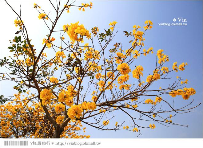 【彰化賞花景點】彰化溪洲黃金風鈴木~爆滿的黃花點綴成最美的台一線路段(含小秘境)