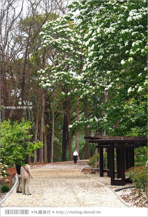 【嘉義油桐花】嘉義梅山橫山坪休閒園區~油桐花盛開!今年的第一抹油桐花地毯