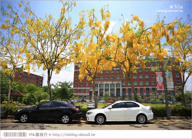 【台中阿勃勒】亞洲大學阿勃勒大道盛開了~澄黃黃的金色美景,夏季限定!