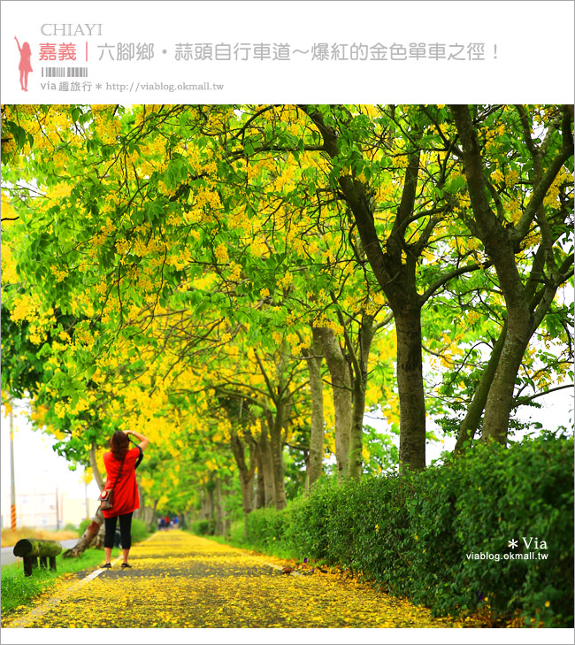 【嘉義阿勃勒大道】六腳鄉蒜頭自行車道~爆紅的黃金地毯美景