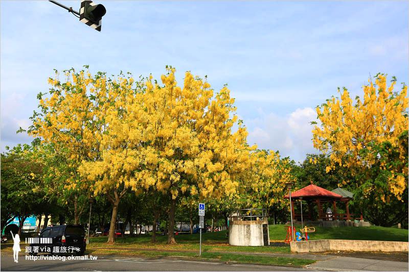 【台中阿勃勒秘境】台中東區東光路~夏日限定的金鍊花美景!炸滿的豔黃美極了!