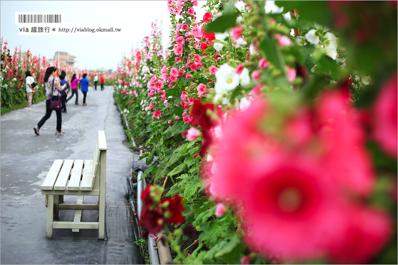 【員林蜀葵花田】彰化員林旅遊景點~萬紫千紅的一丈紅花海,超過二萬株綻放好壯觀!