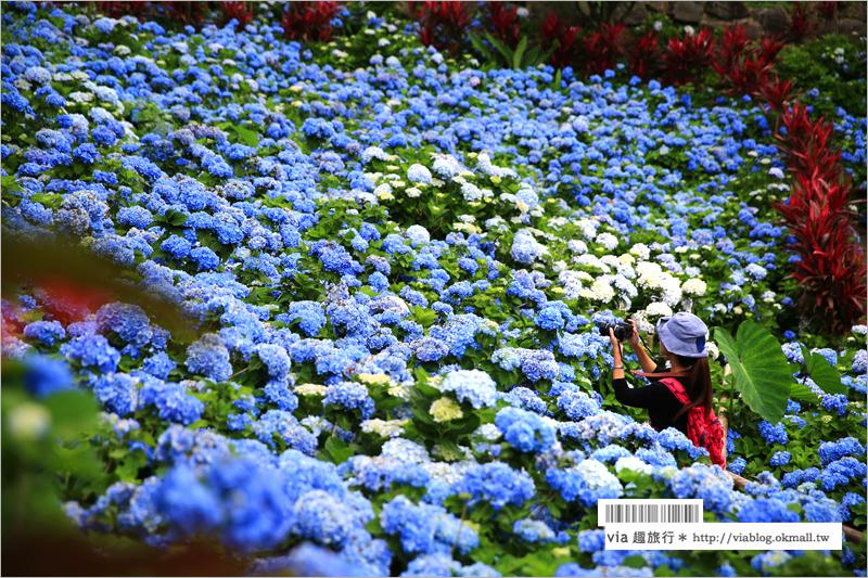 【沖繩繡球花】季節限定!饒平名紫陽花園(よへなあじさい園)~夢幻!綻放整座小山頭的紫色花海!