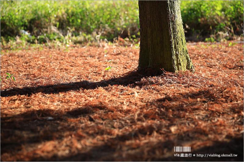 【猴探井落羽松】139縣道賞落羽松的小秘境~還有走天空之橋賞景去!