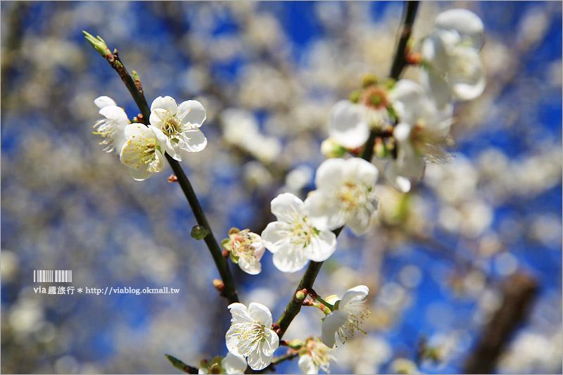【南投梅花】南投賞梅景點~土場梅園‧夢幻的白色梅花小徑,大推的私房賞梅亮點!