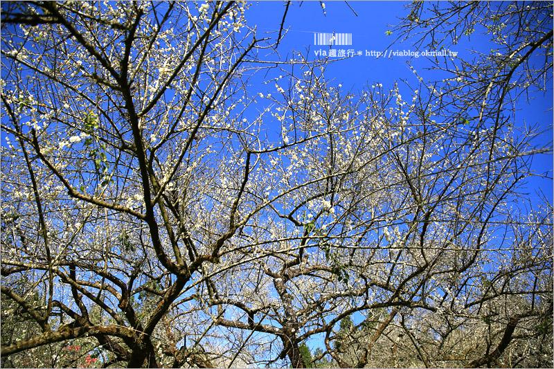 【信義梅花】烏松崙森林渡假營(石家梅園)~綻放的梅花盛開中!梅花季不能錯過的旅點!