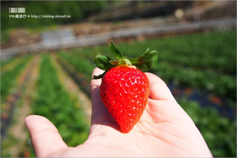 【苗栗草莓推薦】大湖馬拉邦山「秀麗農莊」~鮮嫩可口的草莓這裡採!私房秘境後山觀景台美不勝收!